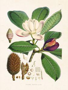 Poster, papier, magnolia, 18 x 24 cm